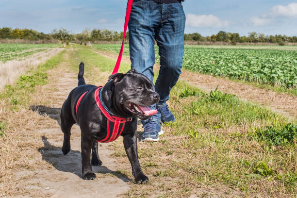 man walking a dog on a harness in a field stock photo