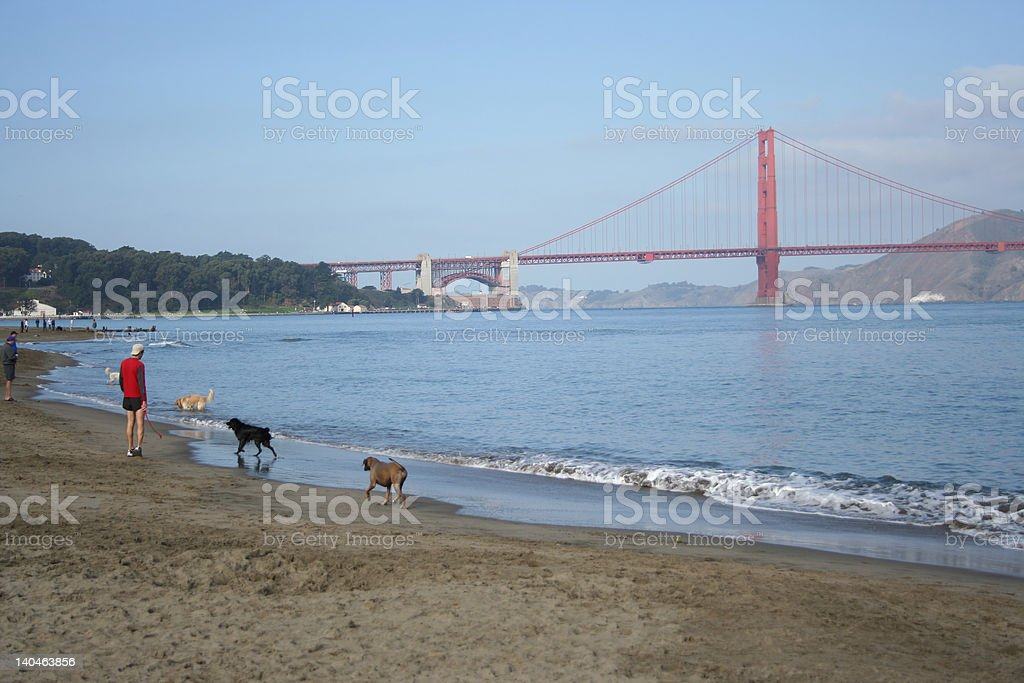 Man walking his dogs royalty-free stock photo