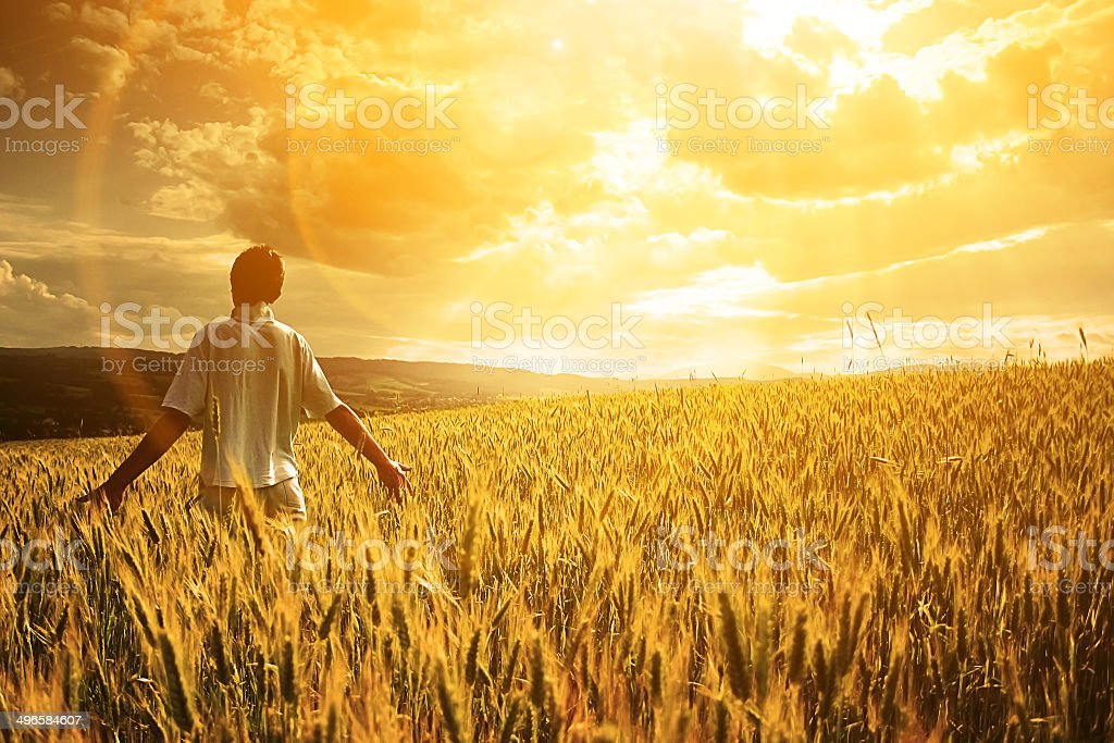 Man walking in wheat during sunset and touching harvest stock photo