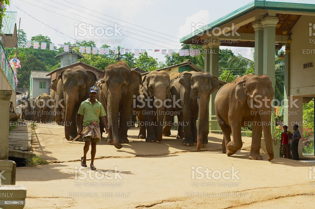 Man walks elephants by the street in Pinnawala, Sri Lanka. stock photo