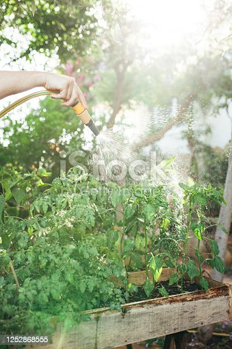 Male adult watering her plants with a spray nozzle. Light shines on the spray of water coming from the hose and glistens on the beads of water as it showers over the plant