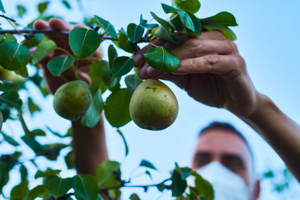 man wearing mask collecting pears from the tree stock photo