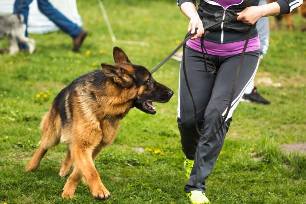 a man with a german shepherd on a leash - training imagens e fotografias de stock