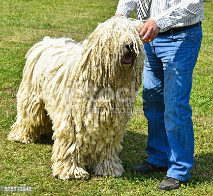 Man with a komondor dog