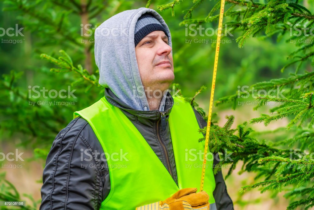 Man with a tape measure near the spruce in forest stock photo