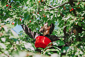 Collect red sweet cherries. A man with a red container tears ripe red cherry from high branches of a tree