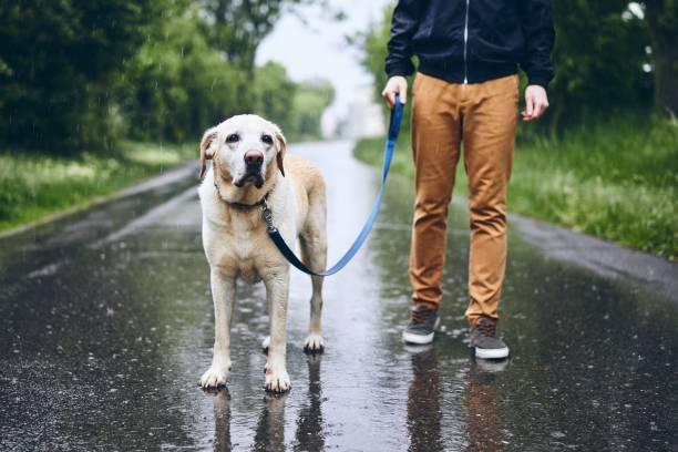 Man walking with Lab retriever in rain.
