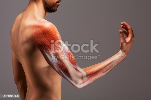 istock Man with extended arm. Illustrated representation of the structure and musculature of the human arm. 962584606