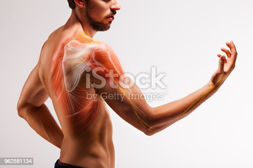 istock Man with extended arm. Illustrated representation of the tendon, scapula and nerves of the human arm. 962581134