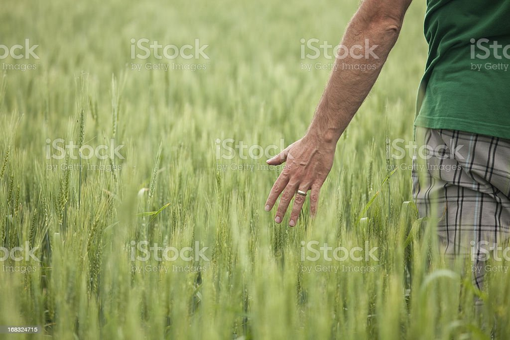 Man With Hand in Unripe Wheat Field stock photo