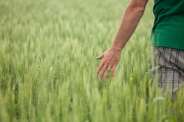 mann mit zeiger in unreif wheat field - eheringe öko stock-fotos und bilder