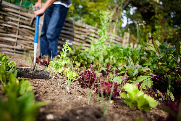 Man With Hoe in Vegetable Garden Gardener taking out weeds in a vegetable garden with a hoe. garden hoe stock pictures, royalty-free photos & images