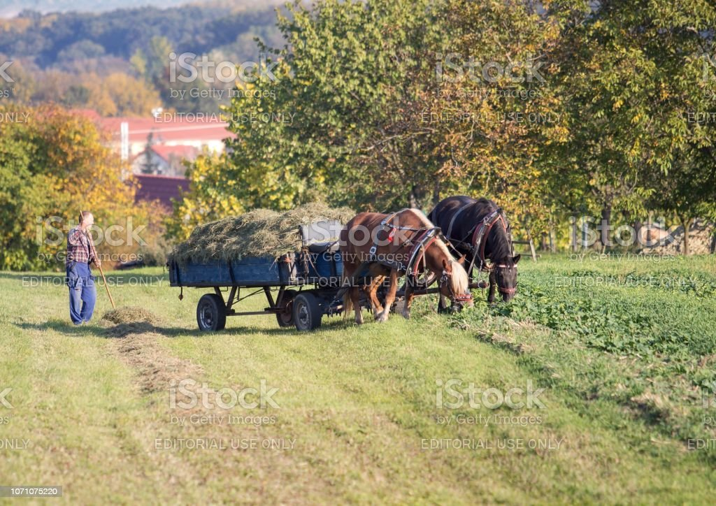 Man with horses on the field stock photo