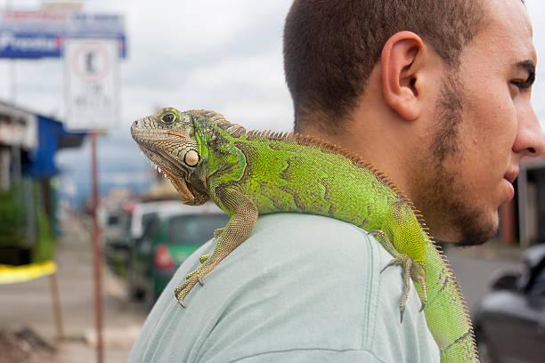 homme avec iguana sur son épaule au costa rica - animaux familiers exotiques photos et images de collection