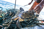 Andaman Sea, Thailand - August 12 2017: This rare Critically Endangered Hawksbill Sea Turtle (Eretmochelys imbricata) is entangled in discarded fishing net aka 'Ghost nets'.  Classified by the IUCN as facing an extremely high risk of extinction in the wild in the immediate future.  The animal has been found alive but without help would perish.  A fisherman uses a knife to cut the animal free.  Ghost nets have a devastating effect on marine life, as can be seen here.  The turtle, was released by the photographer after this image was taken.  The location is  Phi Phi islands in the Andaman Sea, Krabi, Thailand.