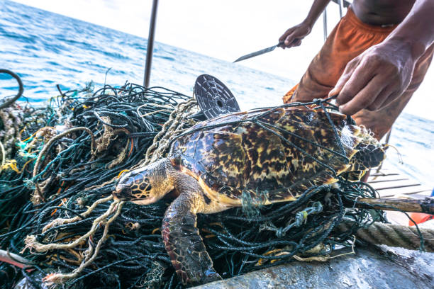 Man with knife rescuing Critically Endangered Hawksbill Sea Turtle tangled Ghost Net stock photo