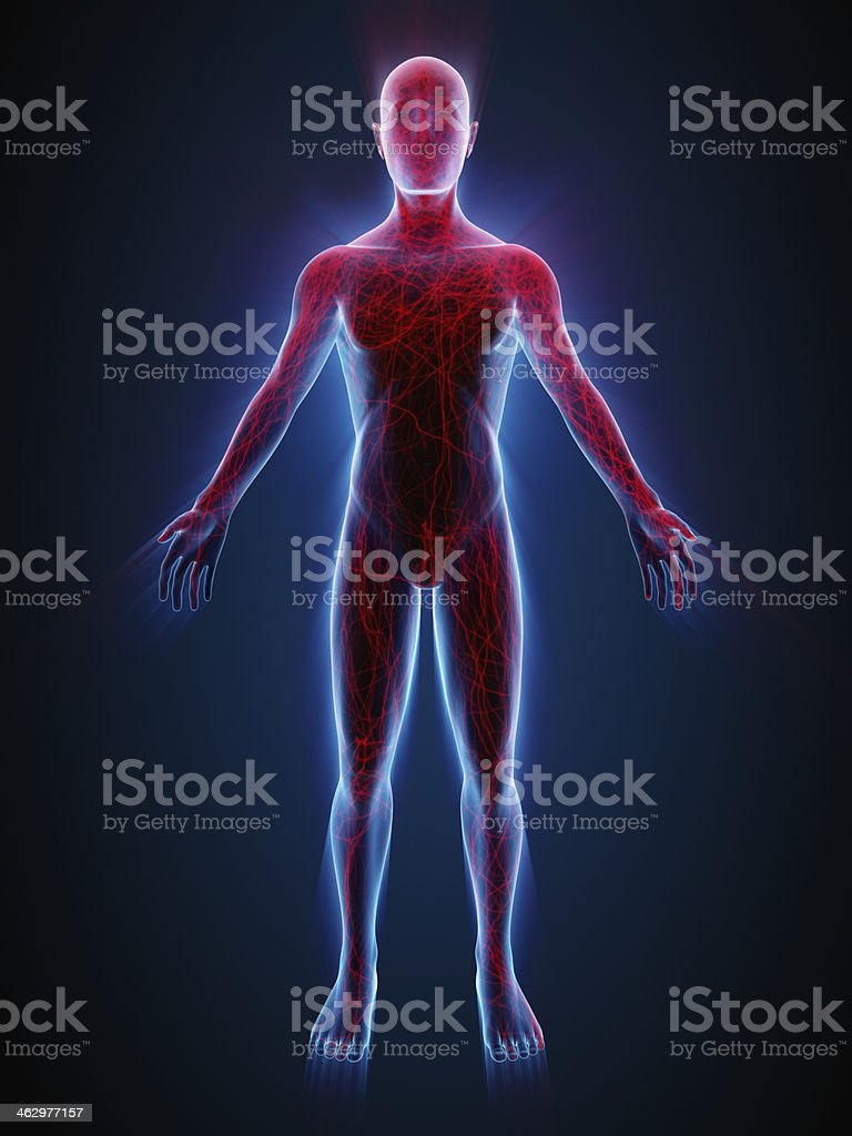 Man with nervous system and blood vessels stock photo