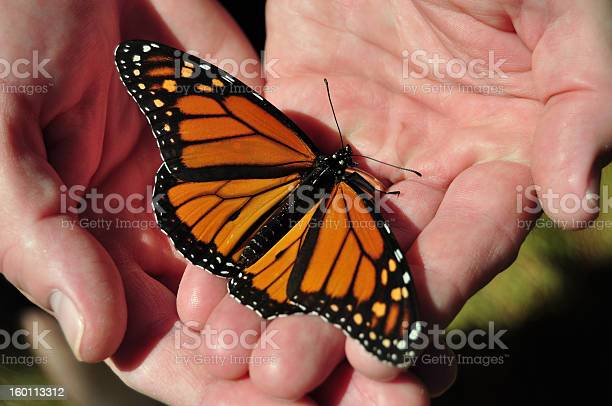 Man with open palms holding monarch butterfly picture id160113312?b=1&k=6&m=160113312&s=612x612&h=8bmzaff106qunpa9ltzdugmhs8ywfh9al4pexfjn6w8=