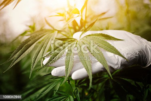 Marijuana ,cannabis leafs