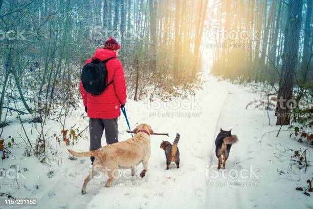 Man with two dogs and a cat walks in a snowy pine forest in winter picture id1157291152?b=1&k=6&m=1157291152&s=612x612&h=1ervdwh7ajmf8ra ycl70ts kwmawzcohigzcog5vgs=