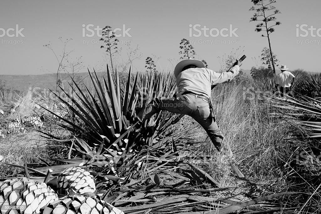 Hombre de trabajo en la Industria Tequilera - foto de stock
