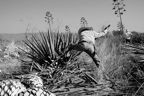man work in tequila industry stock photo