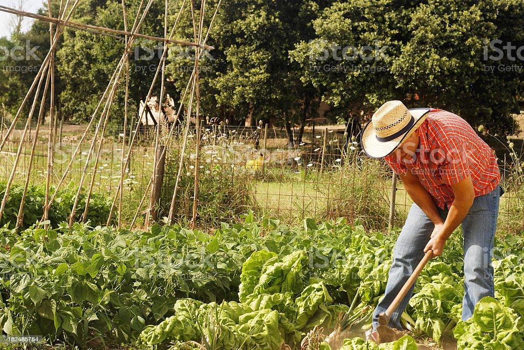 Man working at vegetable garden royalty-free stock photo
