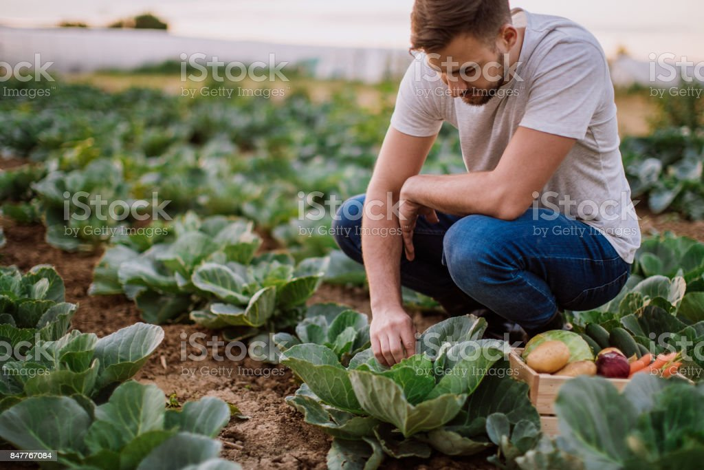 Hombre que trabaja en el campo de la col - foto de stock