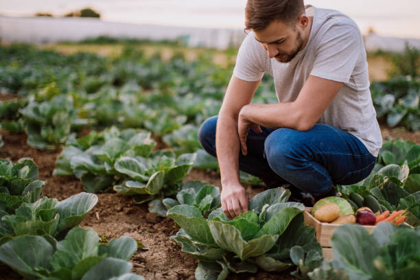 man working in cabbage field - organic farm stock photos and pictures