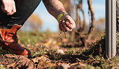 The owner of a small vineyard in Sweden is walking on his filed checking the plants. He is checking the soil with his hands.