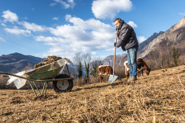 Man Works on Winter Pasture Picking up Cow Dung to Prepare Field for Spring Planting Man Works on Winter Alpine Pasture Picking up Cow Dung to Prepare Field for Spring Planting, Organic Farming Concept, Slovenia cow dung organic fertilizer stock pictures, royalty-free photos & images
