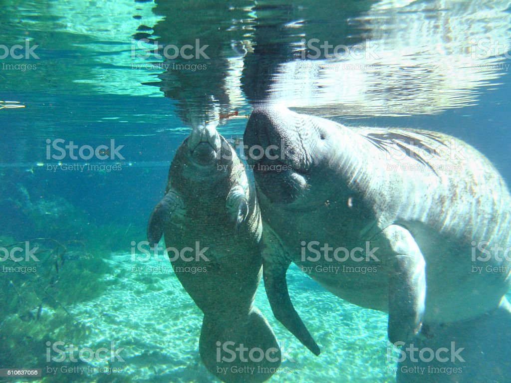 Manatee a mother and calf Manatee rest in the Three Sisters Spring, Crystal River Florida Animal Stock Photo