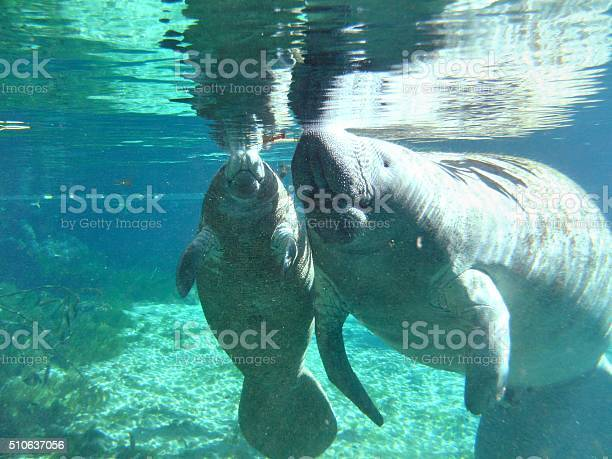 Manatee Stock Photo - Download Image Now