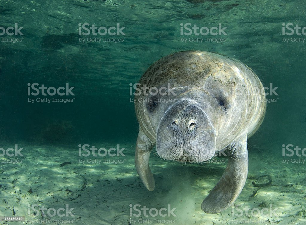 Manatee Portrait stock photo