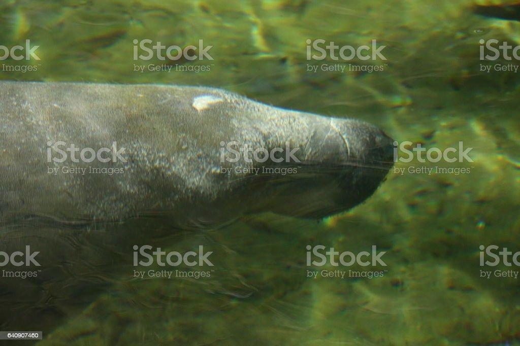Manatee swimming under the water stock photo