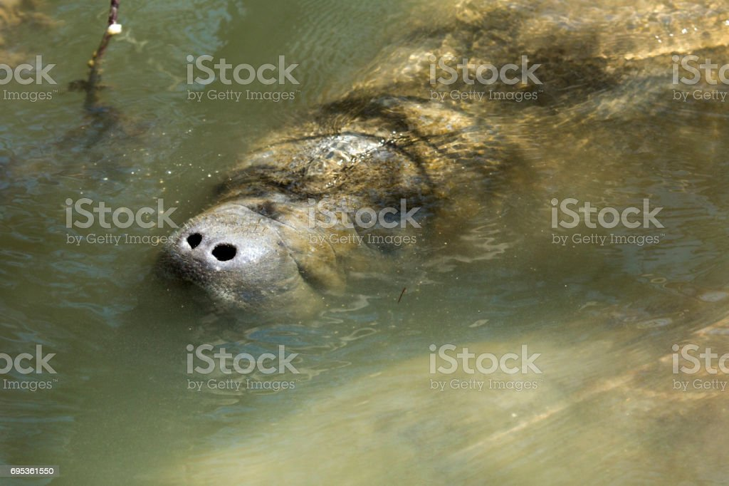 Manatee with nose just above the surface, Merritt Island, Florida. stock photo