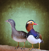 Couple of mandarin duck with green background.