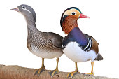 Couple of mandarin duck isolated on white background.