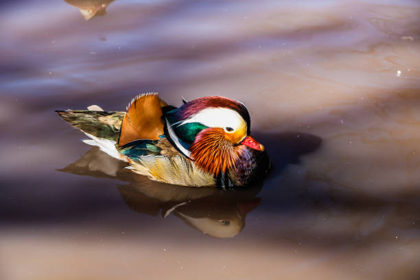 Mandarin duck floating and calm on the water stock photo