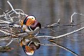 Mandarin duck, Aix galericulata, beautiful bird.