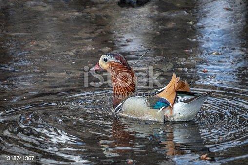 istock Mandarin duck, (Aix galericulata), mandarin duck. 1318741367