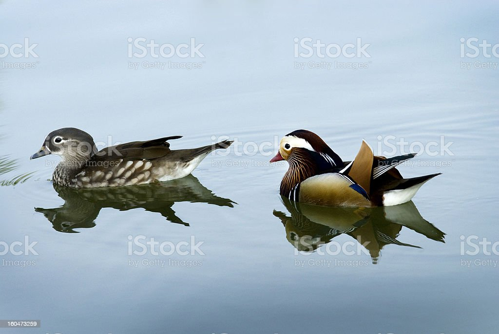Mandarin Duck swimming royalty-free stock photo