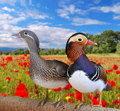 Pair mandarin ducks  in a field poppies.