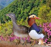Pair  of mandarin ducks  in a forest.