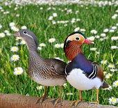 Pair  of mandarin ducks  in a field.