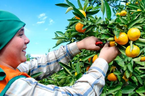 mandarin harvest