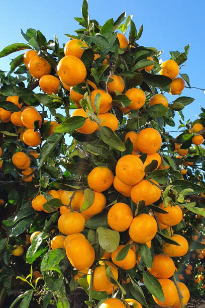 Mandarin in Jeju Island, Korea stock photo