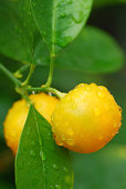 Macro picture of a Mandarin Orange tree.