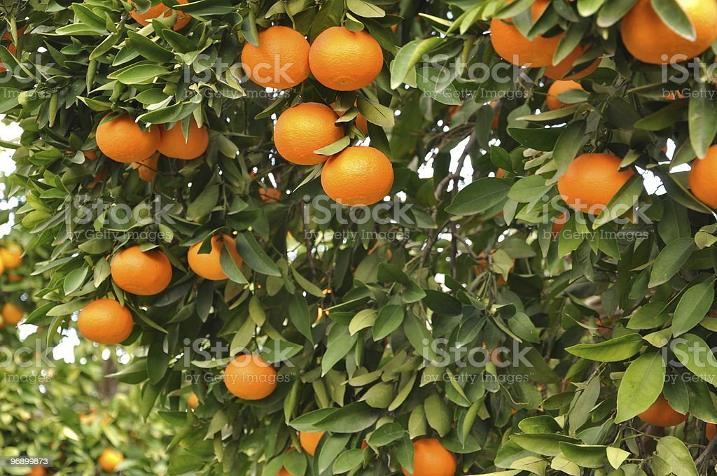 Mandarin Orange Grove royalty-free stock photo