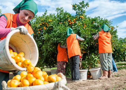 Mandarin Orange harvest